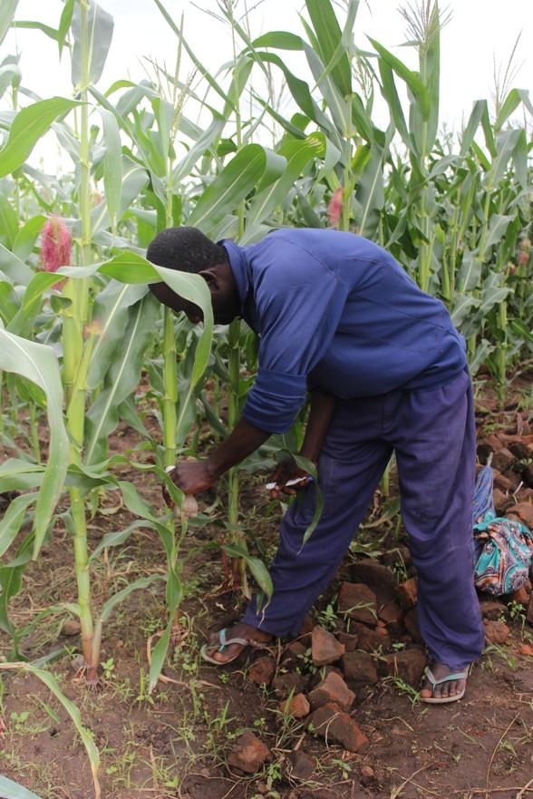 Universal Fertilizer Subsidy Targets 3.5 Million Smallholder Farmers