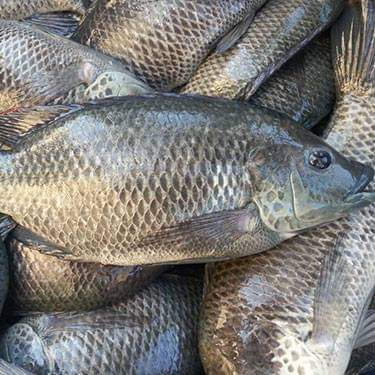 Chambo Fisheries Sounds SOS  to Govt